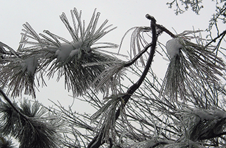 Ice coated pine